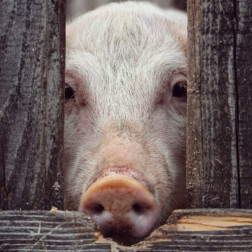 Schwein schaut zwischen zwei Holzbalken durch.
