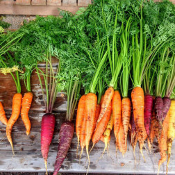 Frisch geerntete Karotten auf Holz