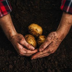 geschnittene Ansicht eines Bauern, der reife natürliche Kartoffeln in der Erde hält