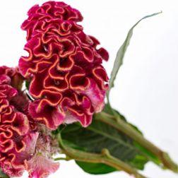 Blume Celosia