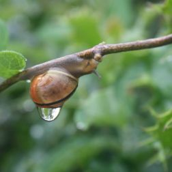 Schnecke mit Regentropfen