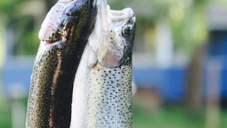 Forelle und Saibling fangfrisch von Mike's Farm Fischzucht