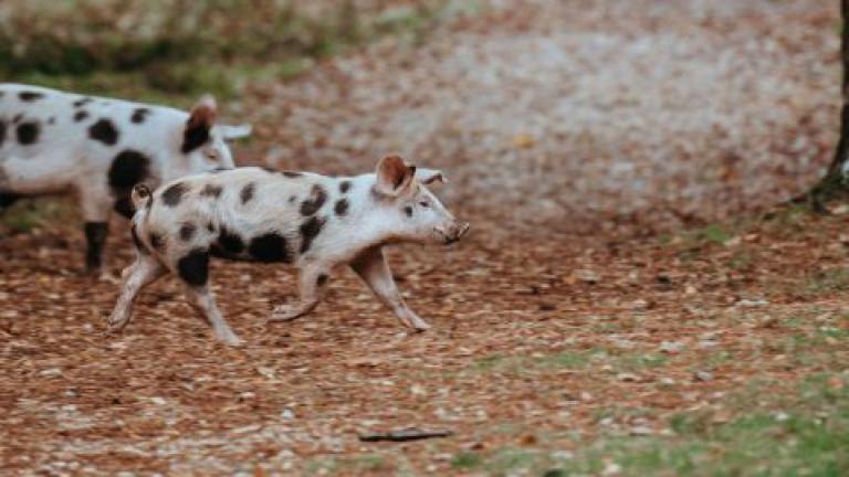 Schweine laufen in der Nähe eines Waldes herum