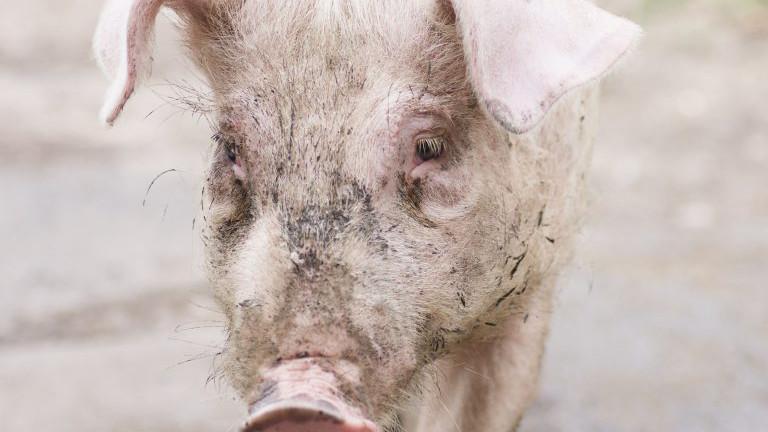 Schwein traurig blickend