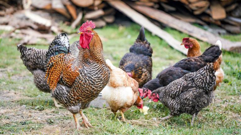 vier Hühner und ein Hahn auf einer grünen Wiese