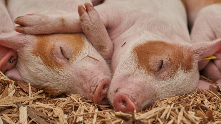 Zwei kleine Schweinchen