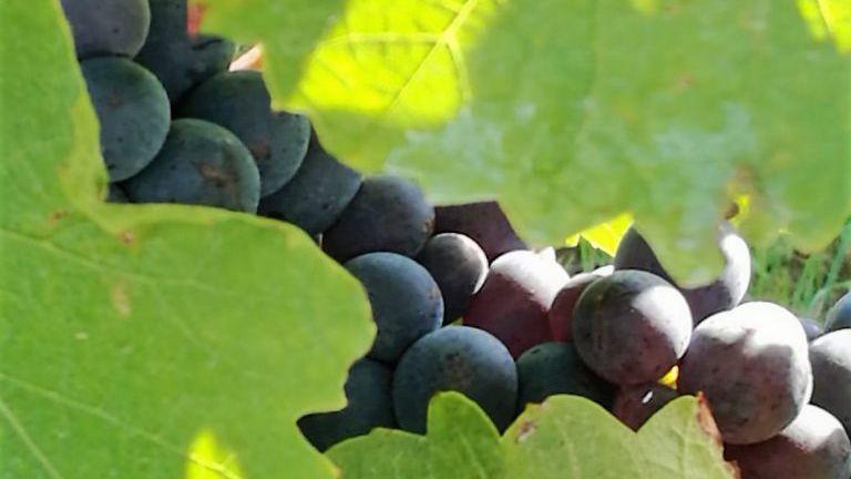 Blaufränkisch Trauben am Stock