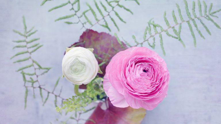 Rosa und weiße Blüten der Ranunkel