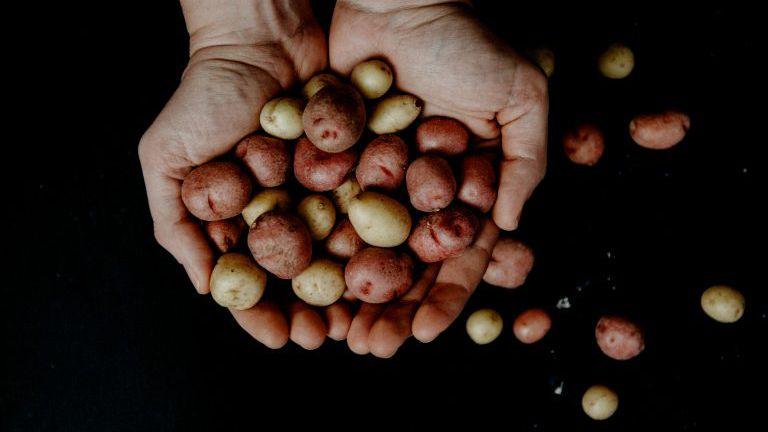 Hand mit kleinen Erdäpfeln