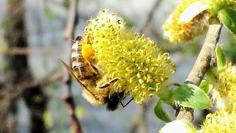 Biene auf einem blühenden Weidenkätzchen