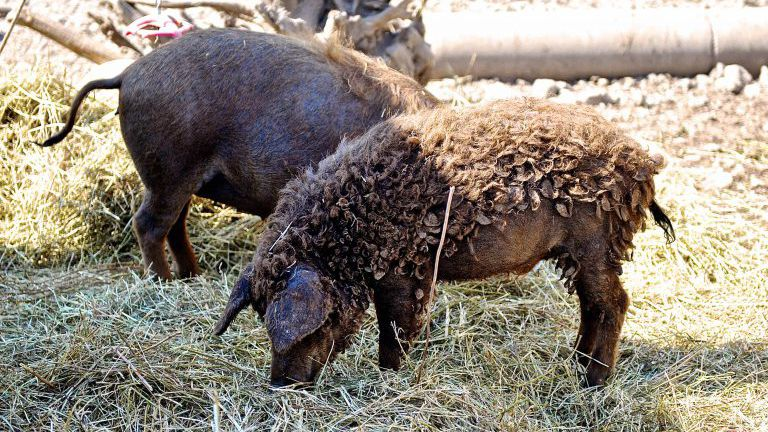 Zwei Mangalitza-Schweine