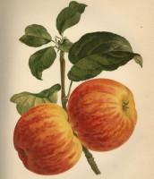BIO Apfelsaft naturtrüb sortenrein - Roter Gravensteiner