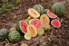 Melonen Vielfalt