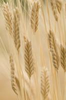 BIO Einkorn Reis