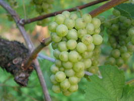 Chardonnay - Morillon DAC
