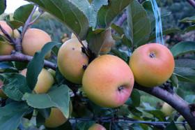 Apfelmost