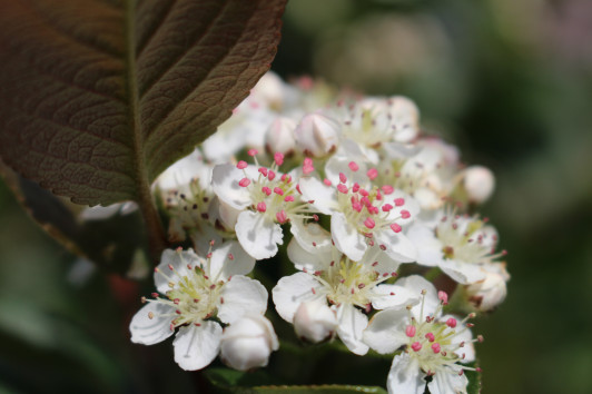Aronia Blüte im Mai
