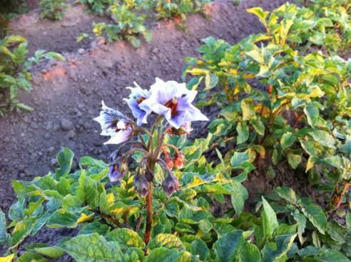 Erdäpfelblüte von einer Blauen Sorte