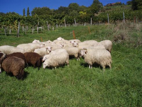 Herde auf der Sommerweide neben dem Weingarten
