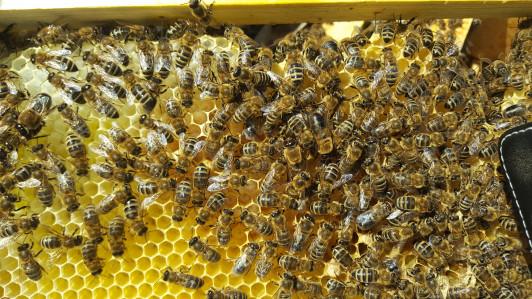 Bio Bienen auf einer ausgebauten Bio-Mittelwand