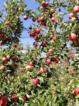 Gala kurz vor der Ernte bei Ligges Obstbau in Flau...