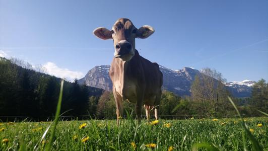 Kuh Lene auf der Weide
