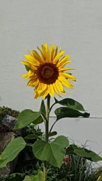 Die Sonne unter den Blumen, die die Bienen sehr li...