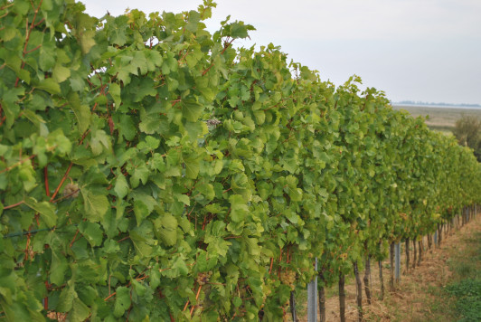 Die Weintrauben Ernte kann beginnen.
