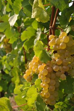 Ausgereifte Weintrauben für die Ernte.