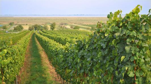Das pannonische Klima, und die nähe zum Neusiedlersee ist für die Reifung der Weintrauben optimal.