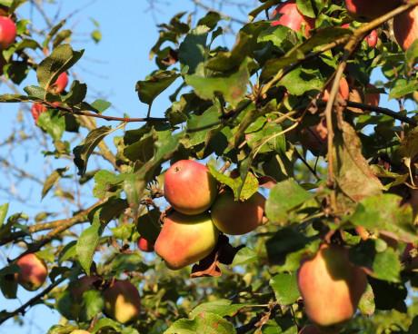 ausschließlich alte, bodenständige Apfelsorten wer...
