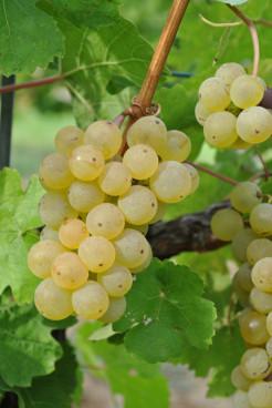 Gesunde Weintrauben für gute Weine.