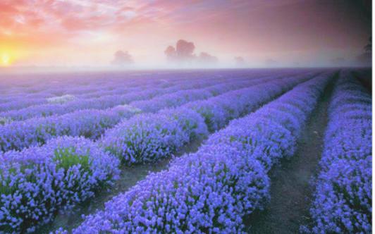 Lavendelfeld in Frankreich  - Lavendel ist eines d...