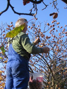 Nach dem ersten Frost werden die Asperl gepflückt.
