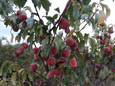Weingartenpfirsiche am Baum