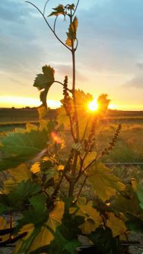 Sonnenaufgang im Weinviertel