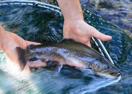Declevas Alpenfisch Bio-Forellen und Bio-Saiblinge