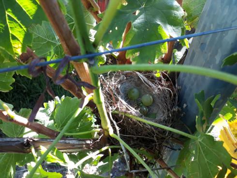 Unsere Weingärten befinden sich in Langenlois und ...