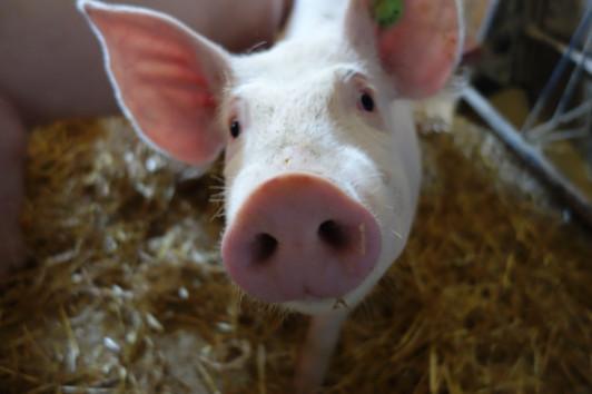 Des san unsere Edelschweine, die auf Stroh wohnen ...