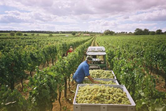 zur Weinernte in den Weingärten