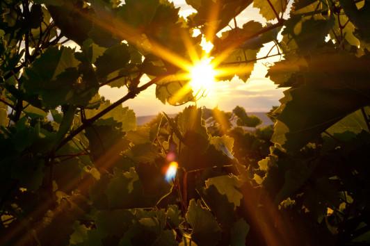 Weingarten im Sonnenuntergang