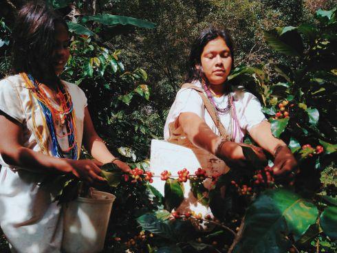 Kaffeeernte in der Sierra Nevada de Santa Marta, K...