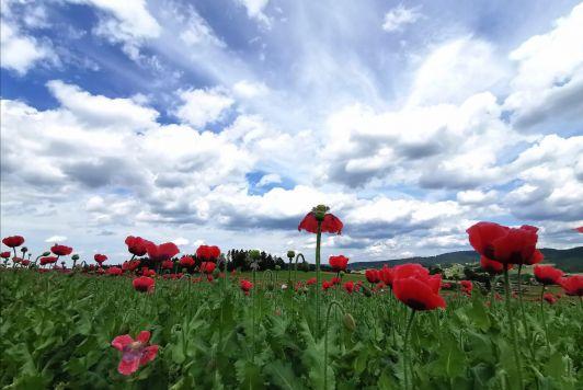 Bio-Mohnfeld in der Blüte