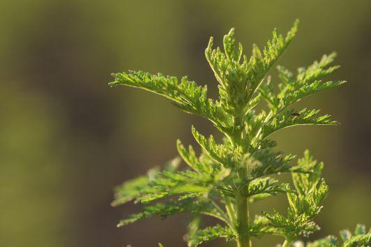 Artemisia annua- Die Alleskönnerin