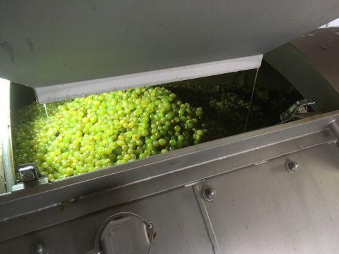Grüner Veltliner, gerebelte Beeren schonend zur Pr...