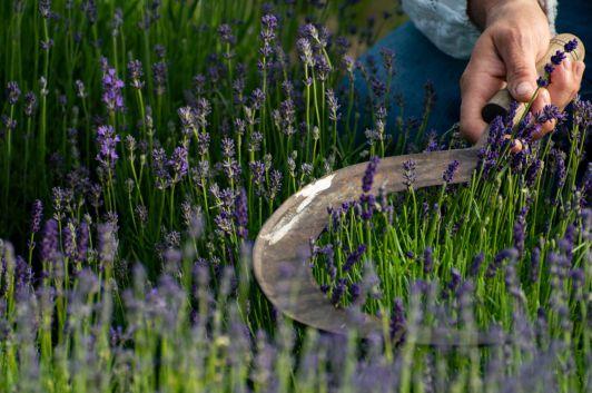 Händisches Ernten des Lavendels