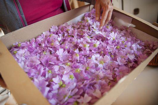 ... und luftgetrocknet. (im Bild die Blüten der Mo...