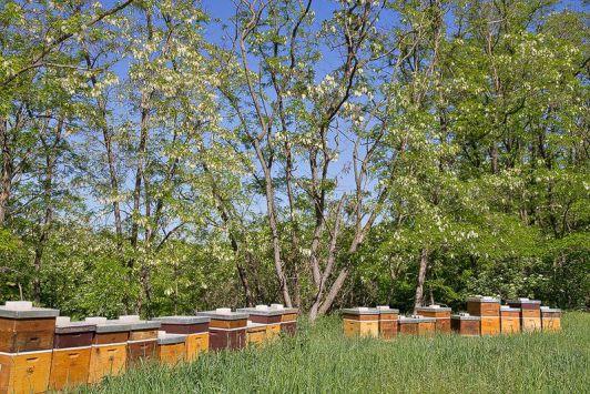 Akazienblüte im Weinviertel