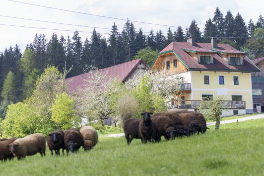 Hof mit Schafen
